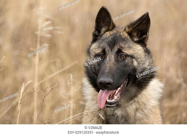german shepherd with stick out tongue