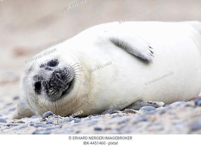 Gray seal (Halichoerus grypus), pup, Heligoland, Schleswig-Holstein, Germany