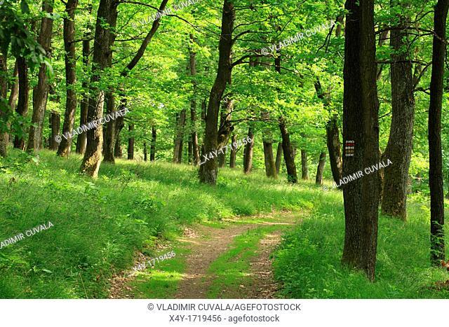 The hiking trail through the Sessile Oak's forest Quercus petraea, Male Karpaty, Slovakia