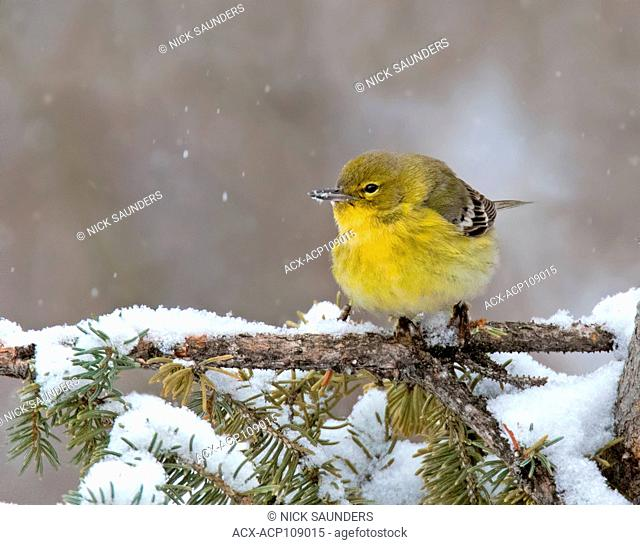 A Pine Warbler, Setophaga pinus, visits a backyard in winter in Saskatoon, Canada