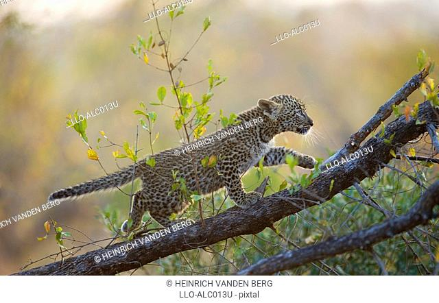 Young Leopard Panthera pardus Cub Climbing a Tree Branch  Sabi Sands Conservancy, Mpumalanga Province, South Africa