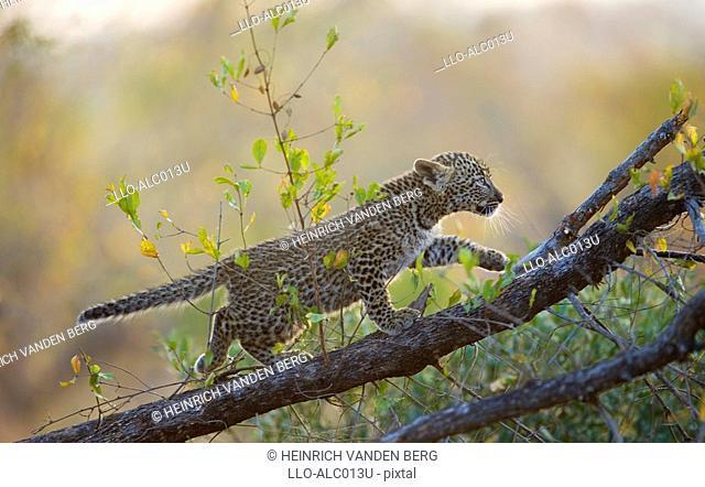 Young Leopard Panthera pardus Cub Climbing a Tree Branch  Sabi Sands Conservancy, Mpumalanga Province, South Africa