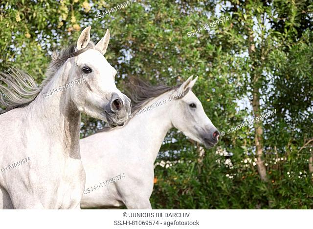 Arabian Horse. Two gray mares on a pasture, portrait. Egypt
