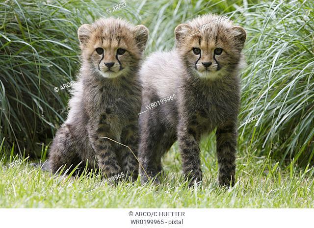 Cheetah, cubs,Acinonyx, jubatus