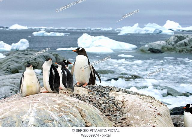 Antarctica, Antarctic Peninsula, Lemaire Channel, Petermann Island, Gentoo Penguins