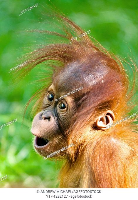 Baby Orangutan looks on in wonder