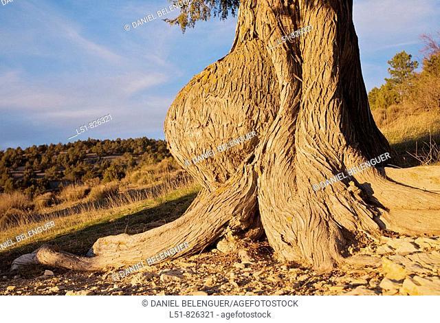 Juniperus thurifera trunk malformation, Las Blancas, Puebla de San Miguel, Natural park of Puebla de San Miguel, Ademuz, Rincón de Ademuz, Valencia