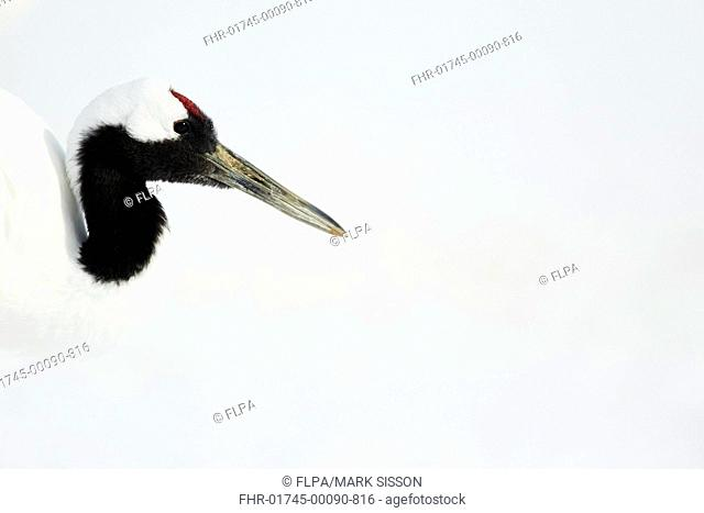Japanese Red-crowned Crane (Grus japonensis) adult, close-up of head and neck, in snow, Hokkaido, Japan, February