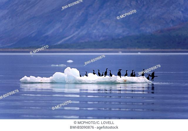 cormorants, shags (Phalacrocoracidae), groupe on ice floe, USA, Alaska, Glacier Bay National Park