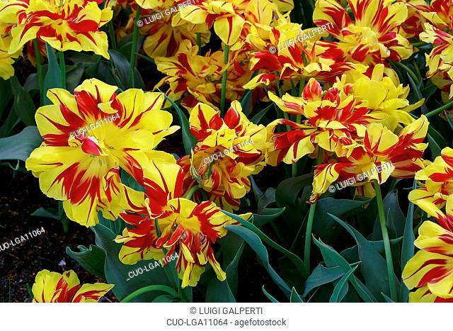 Tulipani doppi precoci Monsella, early double tulips
