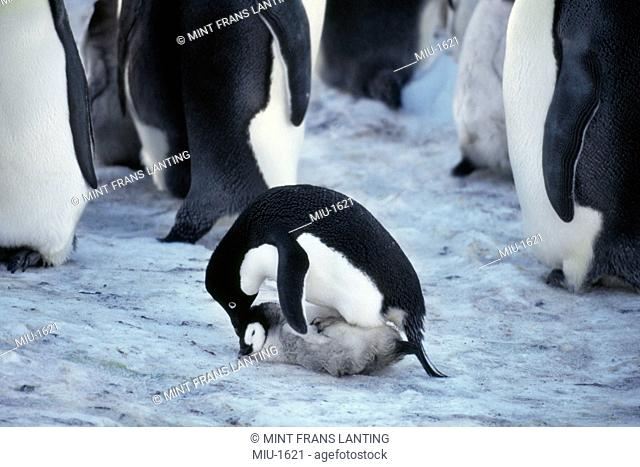 Adelie penguin, Pygoscelis adeliae, raping an emperor penguin chick, Aptenodytes forsteri in the Weddell Sea, Antarctica