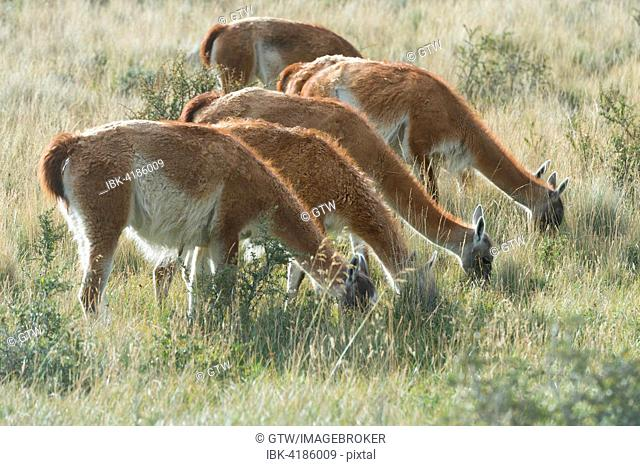 Guanacos (Lama guanicoe) grazing in the steppe, Torres del Paine National Park, Chilean Patagonia, Chile