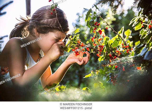 Germany, Northrhine Westphalia, Bornheim, Girl inspecting currant bushes