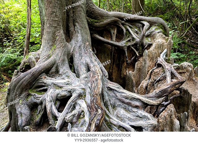 Tree Roots on Nurse Log - Goldstream Provinicial Park - Victoria, Vancouver Island, British Columbia, Canada