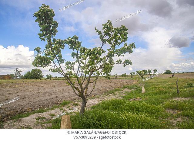Pistachio tree. Ciudad Real province, Castilla La Mancha, Spain