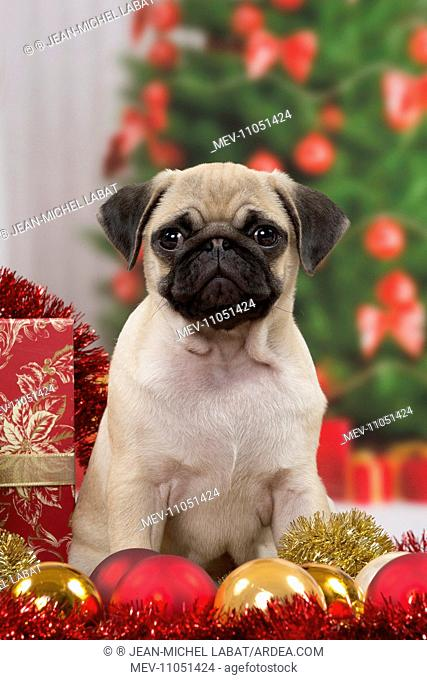 Dog Pug 3 month old puppy in Christmas scene