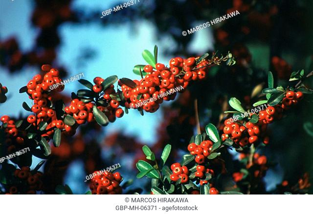 tree, plant, sorbus, scientific name