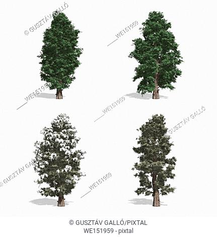 Red Cedar trees, isolated on white background