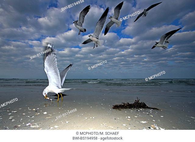 ring-billed gull (Larus delawarensis), group at the beach, USA, Florida