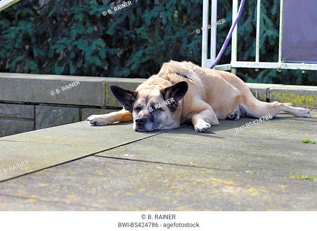 mixed breed dog (Canis lupus f. familiaris), nine years old Malinois-mixed breed she-dog lying on a stair and sleeping, Germany, North Rhine-Westphalia