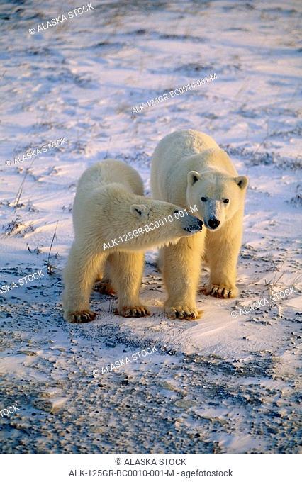 Pair of Polar Bears Snuggling Churchill CA Winter