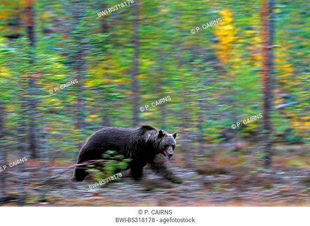 European brown bear (Ursus arctos arctos), prowling through forest, Finland