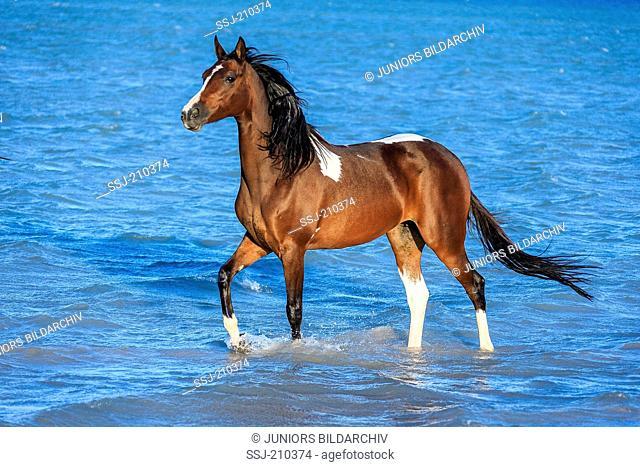 Pintabian. Skewbald mare walking in shallow water. Egypt