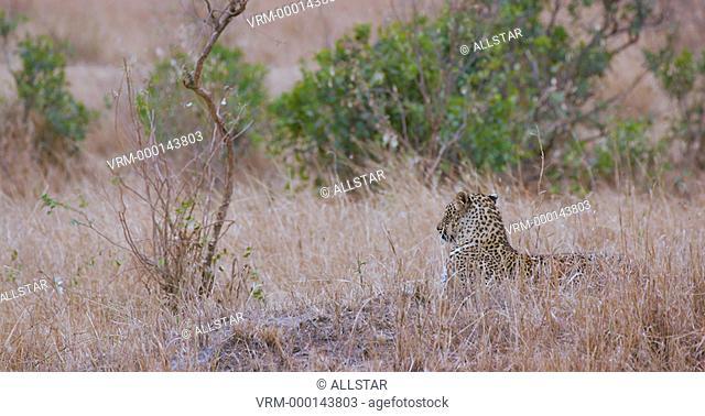 LEOPARD IN LONG GRASS; MAASAI MARA KENYA, AFRICA; 04/09/2016