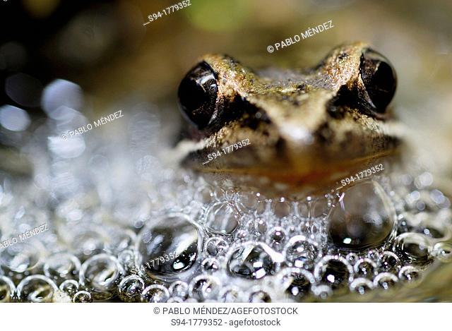 Iberian frog Rana iberica in a pond of Mouruas, Orense, Spain
