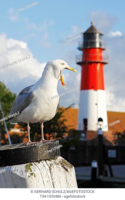 Herring Gull and Buesum Lighthouse, Schleswig-Holstein, Germany