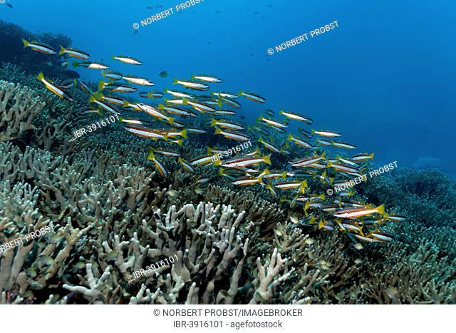 Swarm of Two-spot Banded Snapper (Lutjanus biguttatus) swimming over a coral reef, Great Barrier Reef, UNESCO World Natural Heritage Site, Pacific Ocean