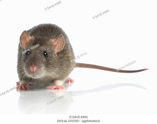 Dumbo rat, pet rat