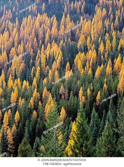 Fall-colored western larch Larix occidentalis stands out in mixed coniferous forest with Douglas-fir and pine, near Sherman Pass, Colville National Forest