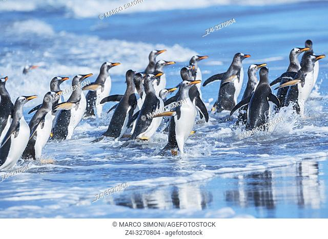 Gentoo penguins (Pygocelis papua papua) getting out of the water, Sea Lion Island, Falkland Islands, South Atlantic, South America