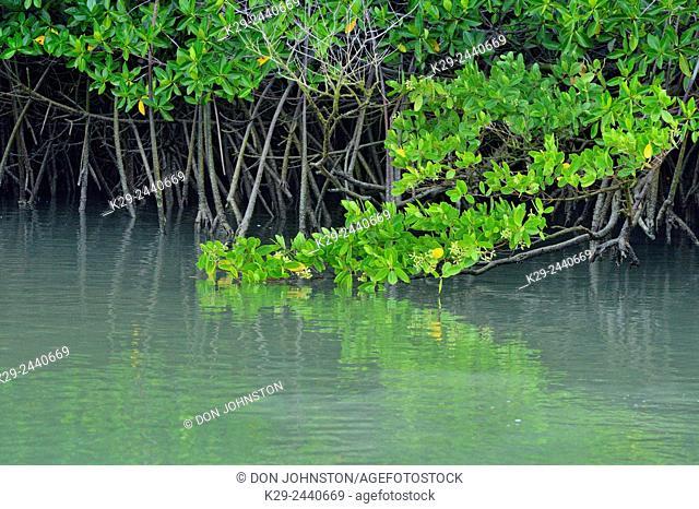 Mangrove trees reflected in the water, Galapagos Islands National Park, Santa Cruz Island, Black Turtle Cove, Ecuador