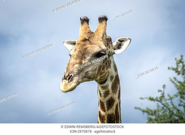 Close up of an angolan giraffe at Etosha National Park, located in Namibia, Africa
