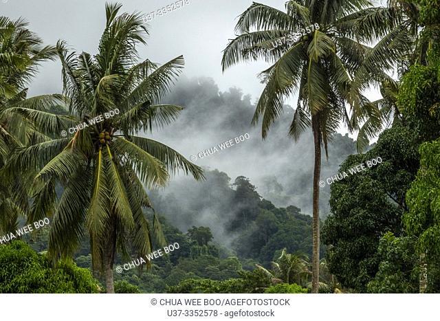 Coconut trees in Telok Melano, Sematan, Sarawak, Malaysia