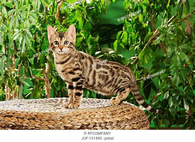 Bengal kitten - standing lateral