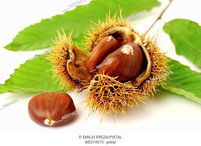 Chestnuts (Castanea sativa)