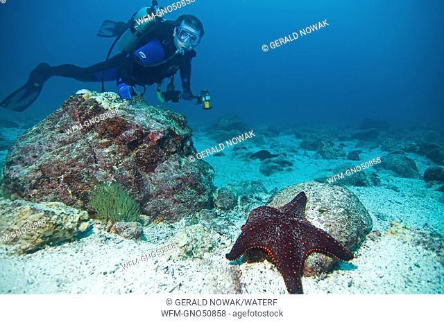Diver and Cumings Starfish, Pentaceraster cumingi, Galapagos, Ecuador