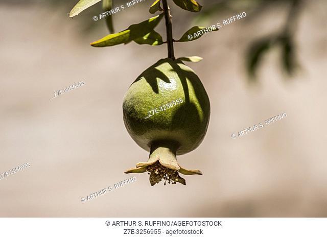 Pomegranate (Punica granatum) hanging on a tree. Loreto, UNESCO World Heritage Site. Baja California Sur, Mexico