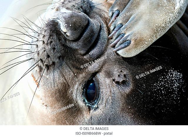 Portrait of a southern elephant seal (Mirounga leonina), on beach, Port Stanley, Falkland Islands, South America