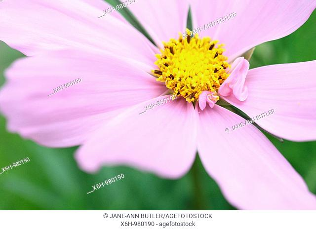 Beautiful Pink Flower Cosmos Sonata Gorgeous Fern-like Foliage