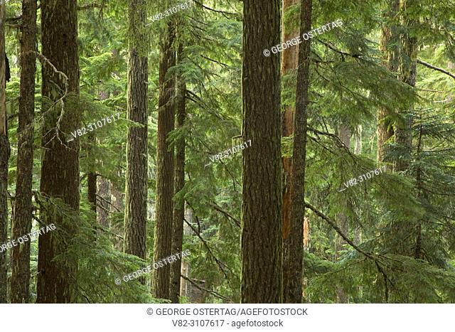 Ancient forest along Shellrock Lake Trail, Roaring River Wilderness, Mt Hood National Forest, Oregon