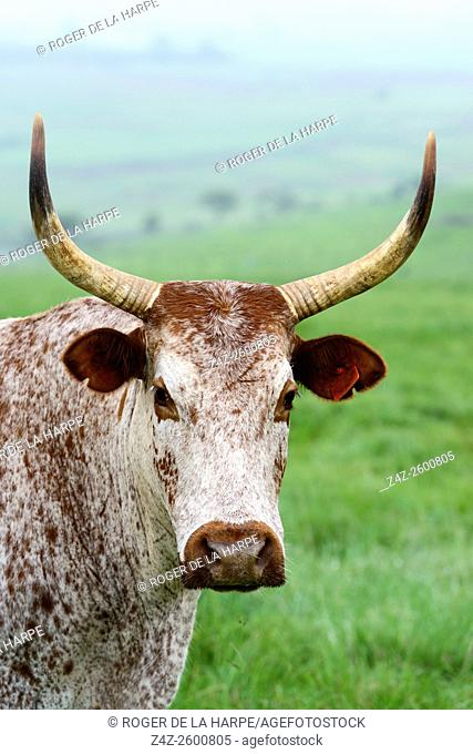 Nguni Cattle. Howick. KwaZulu Natal Midlands. South Africa