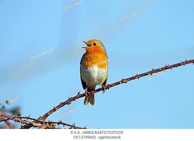 Robin Erithacus rubecula singing in early February. Norfolk England UK