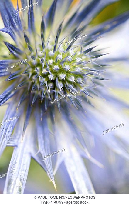 Sea holly, Eryngium zabelii Big Blue, Close view of thistle-like flower head surrounded by silvery blue bracts