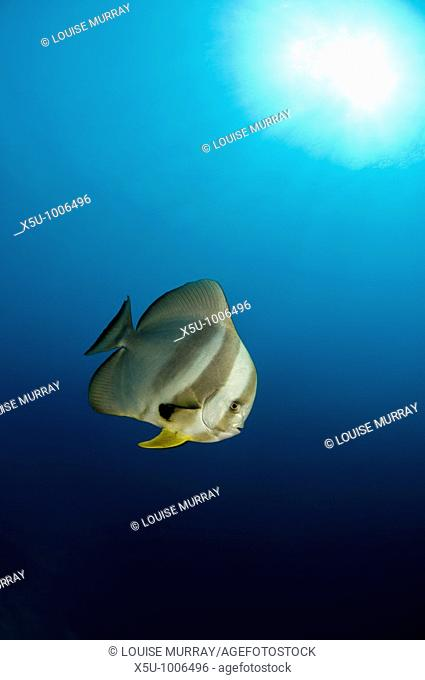 Longfin batfish in Similans Islands National park, Andaman Sea, Thailand