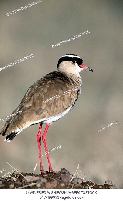 Crowned Plover (Vanellus coronatus). Masai Mara. Kenya