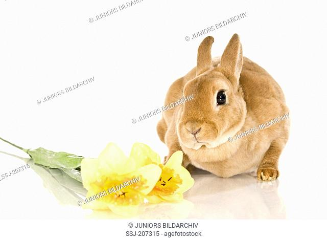 Dwarf rabbit. Brown rabbit next to artifical Daffodil flowers. Studio picture against a white background